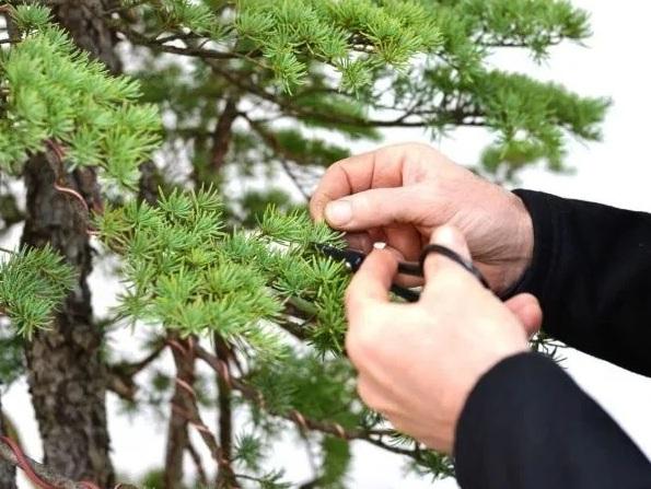 trimming bonsai
