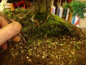 bonsai tweezers works on weeds