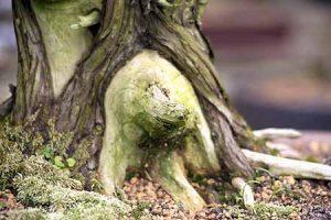 bonsa juniper death wood and jin