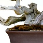 bonsai death wood