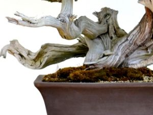 jin death wood bonsai