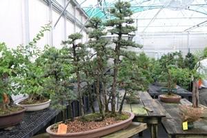 bonsai forrest