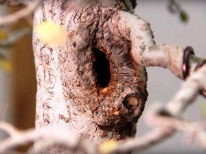 elm bonsai wound callous