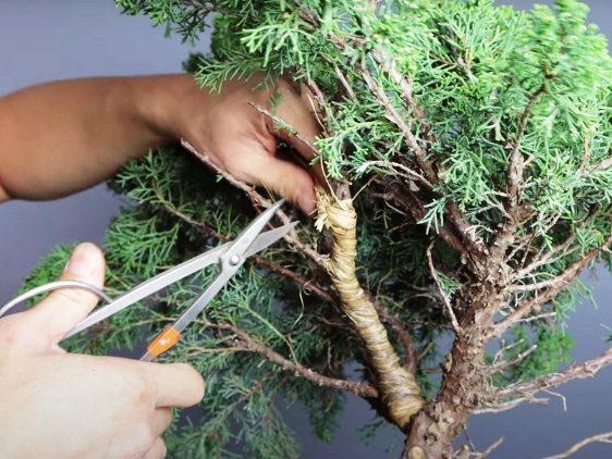 bonsai raffia for bending a branch