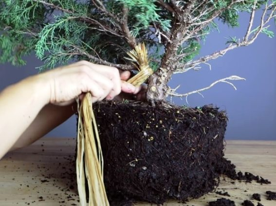 raffia for bending a branch