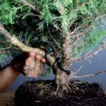 bending a bonsai branch