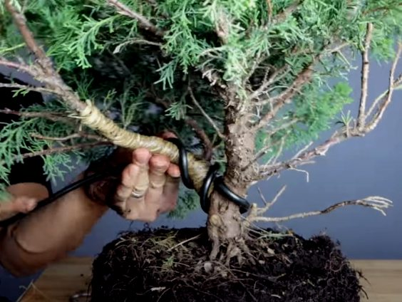 bending a bonsai branch